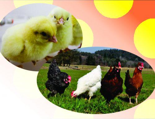 Zbiramo naročila za kokoši nesnice in piščance brojlerje!