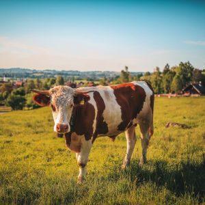 biki odkup KZ Šaleška dolina eko govedo