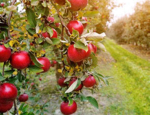 Iščemo pomoč pri obiranju jabolk