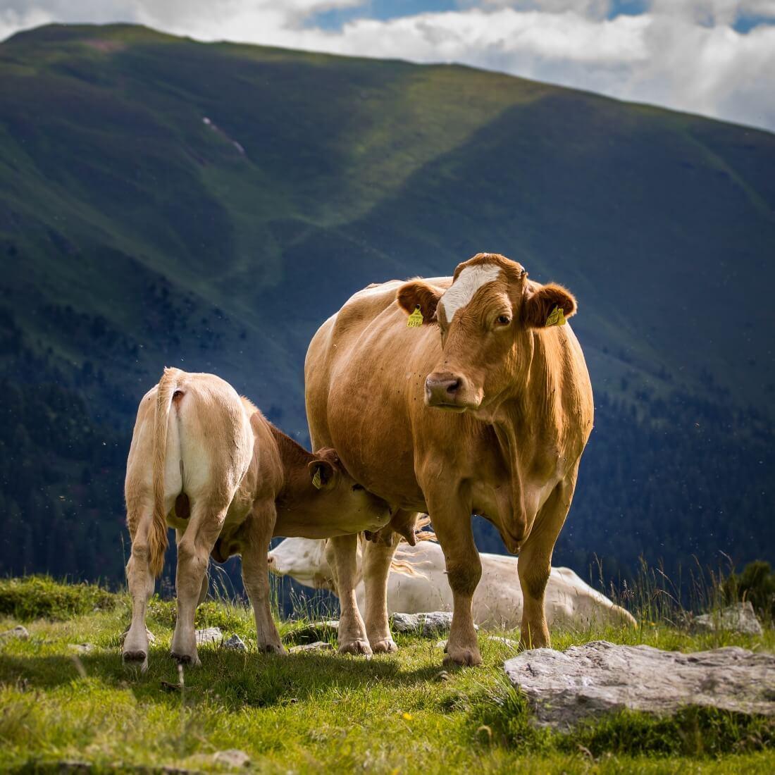 master chef z ekodar eko govedino