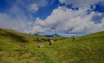 odkup živine KZ Šaleška dolina EKO goveje meso govedina teletina