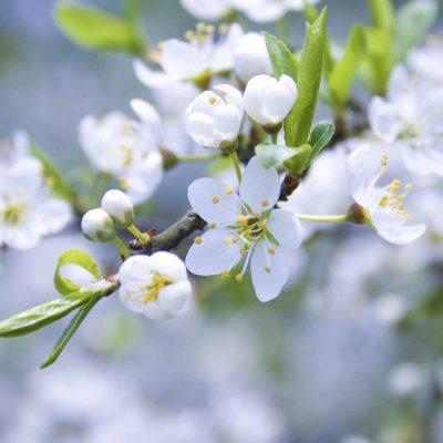 cvet, cvetje, jabolka, jablana, KZ zadruga FFS, sredstva, sadno drevje