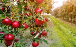 Obiralci jabolk - iščemo obiralce sadja jabolka Turn kmetijska zadruga