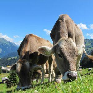 krave, slovenske krave, mleko, slovenska krava, na pašniku